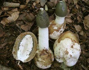 веселка гриб фото